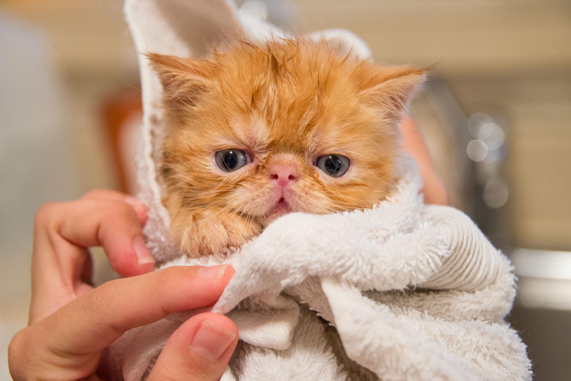Consejos prácticos para bañar a tu gato