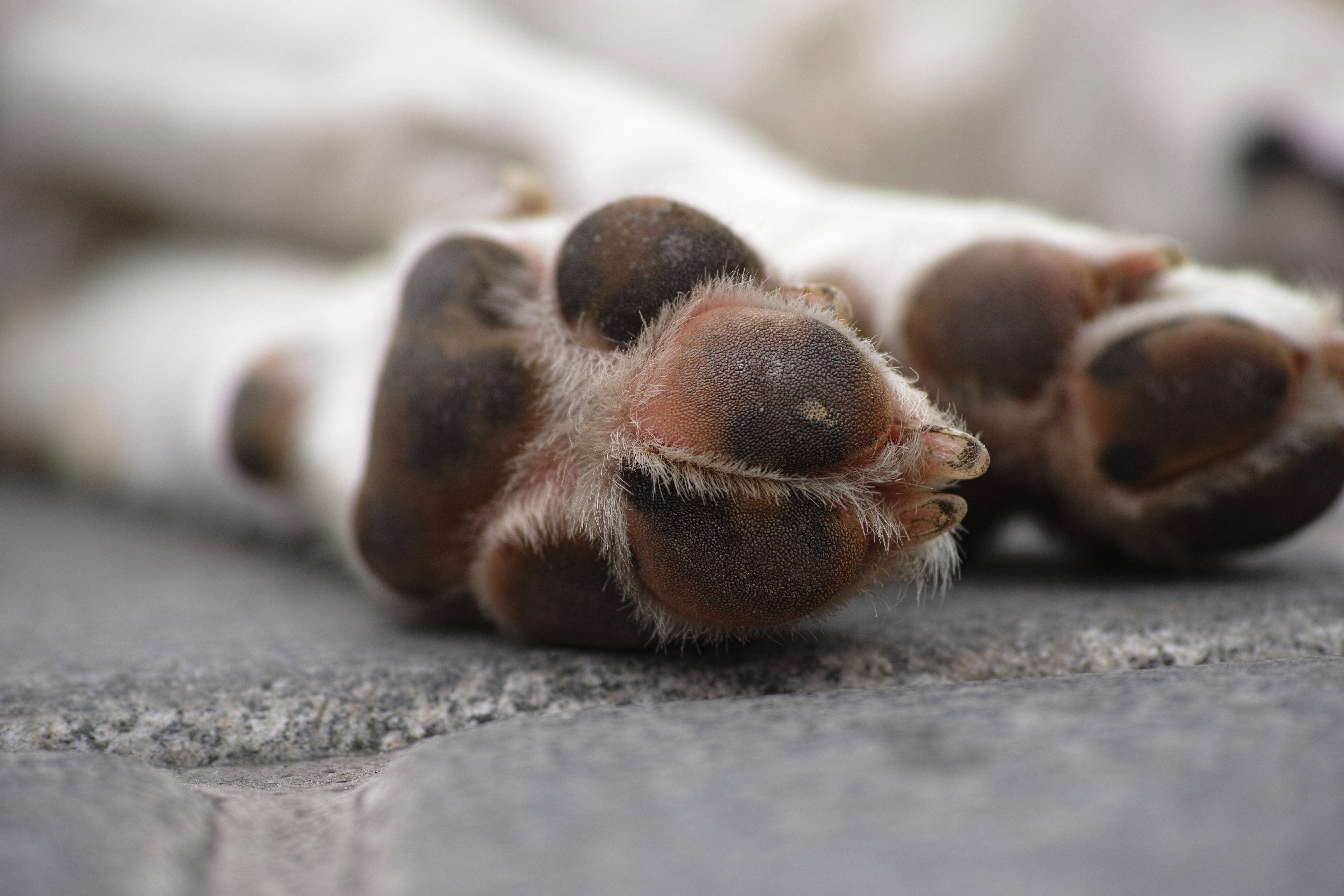 Las almohadillas de los perros: ¿cómo cuidarlas? Heridas patas perros