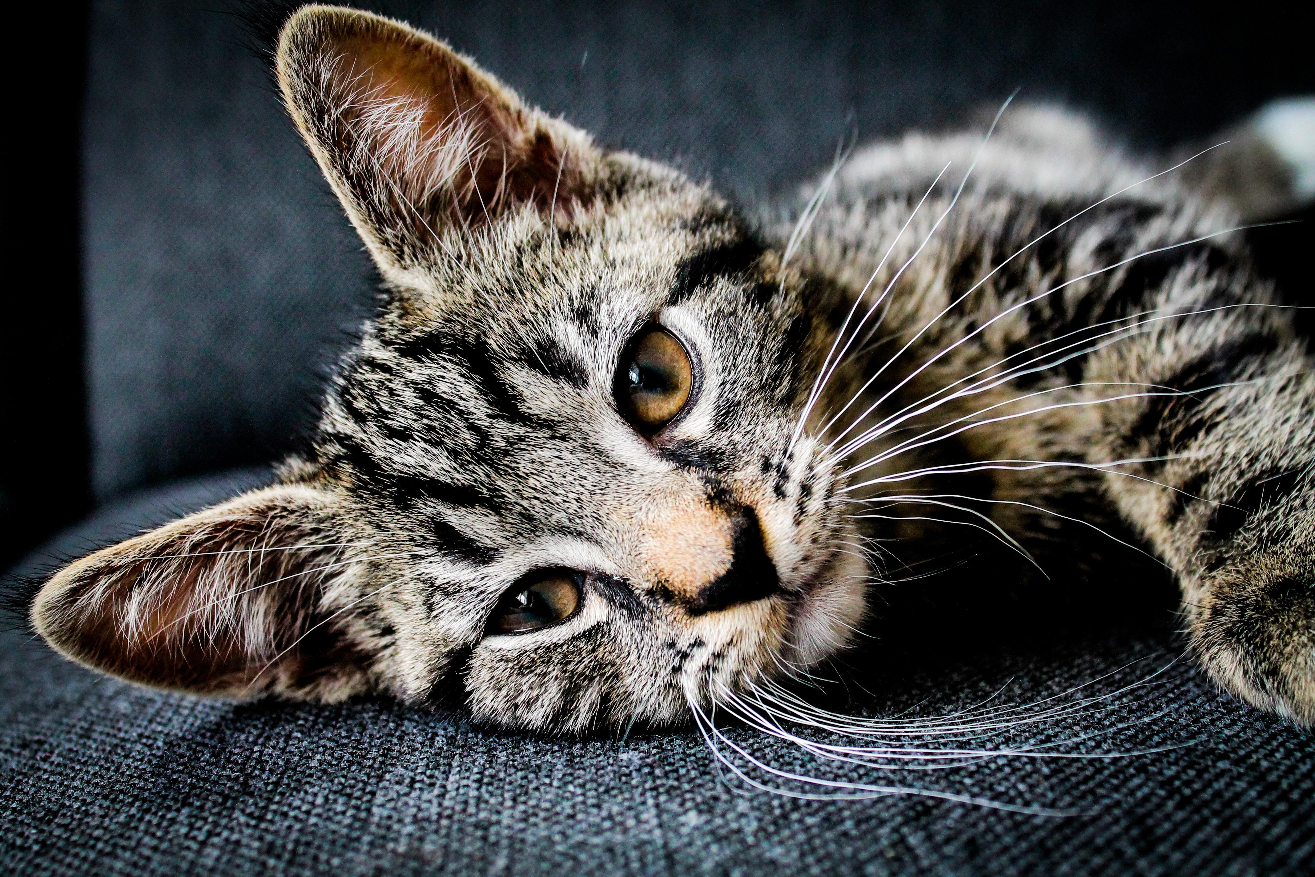 Virus de la Leucemia Felina